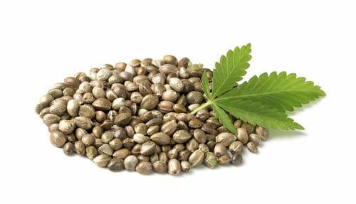 I semi di canapa. Storia proprietà e benefici